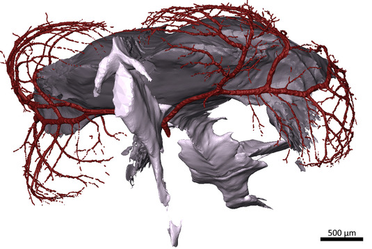 3D modell of the tectal blood vessels and the ventricles of S. pilchardus